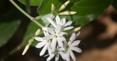 White Jasmine flowers in forest