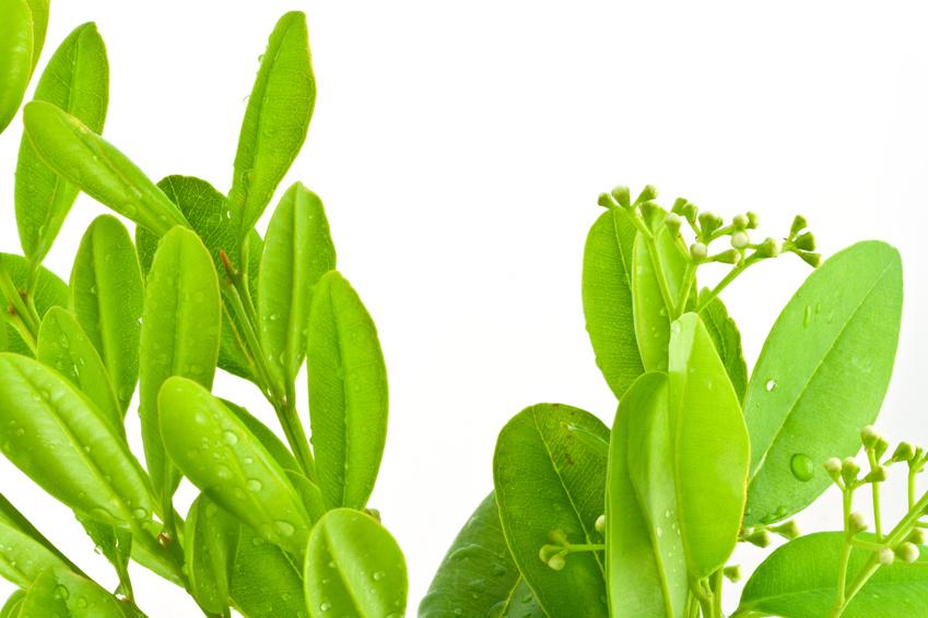 Huile essentielle de ravintsara - Huile essentielle d arbre a the ...