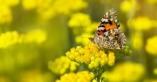 Painted Lady butterfly  on a flowering immortelle